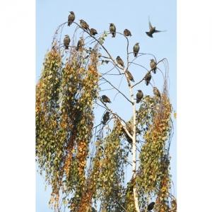 A 0616 Vogelschwarm auf Birke 90x60