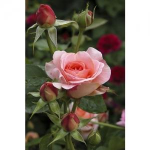 F 0946 Rose 60x40