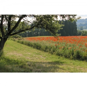F 3088 Landschaft mit Mohnfeld 60x40