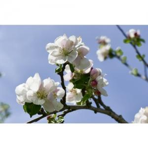 Apfelblüte - 1977