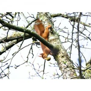 Eichhörnchen - 2395