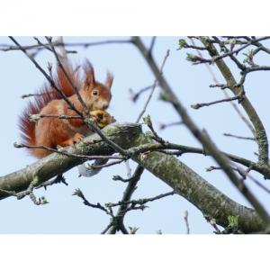 Eichhörnchen - 2394