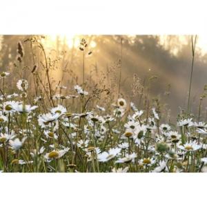 Margeriten im Morgenlicht - 2569