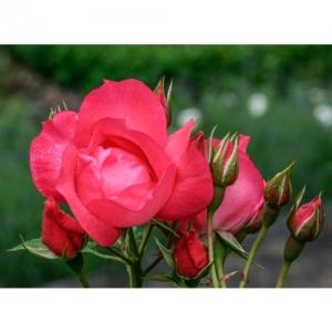 Rose Nubya / Fl - 3009