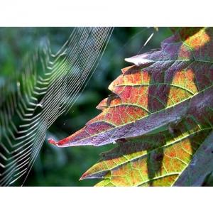 Rebblatt mit Spinnennetz