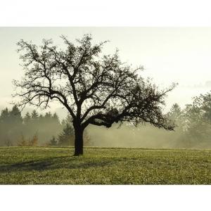 Apfelbaum im Herbstlicht