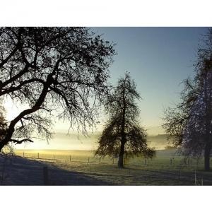 Birnbaum im Morgenlicht