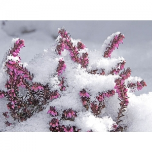 Erika im Schnee