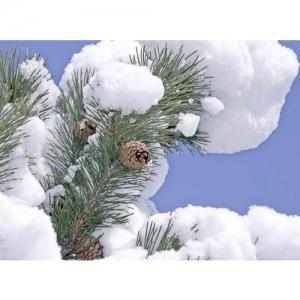 Schnee auf Föhrenzweig