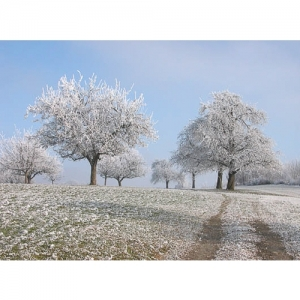 Obstbäume im Raureif