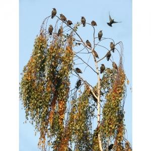 Vogelschwarm auf Birke
