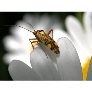 Käfer auf Margerite