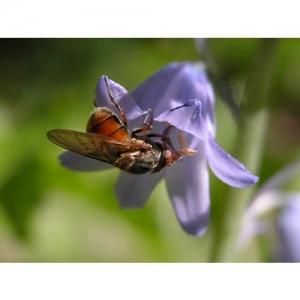 Insekt an Glockenblume