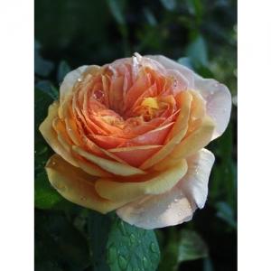 Charles Austin / engl. Rose