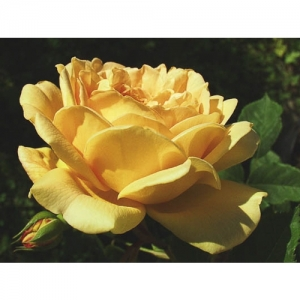 Golden Celebration / Engl. Rose