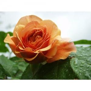 Abraham Darby / engl. Rose
