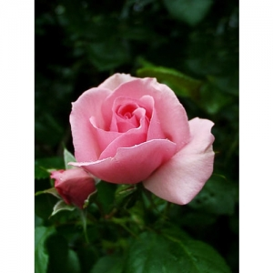Gerbe-Rose / Kl