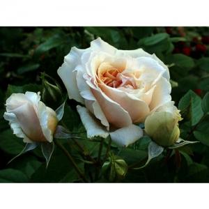 Bredon / engl. Rose