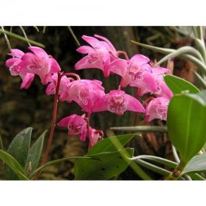 Orchideen - Dendrobium Kingianum