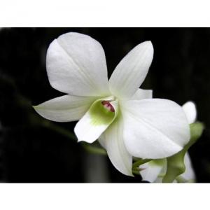 Orchideen - Dendrobium White