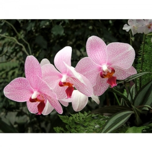 Orchideen - Phalaenopsis
