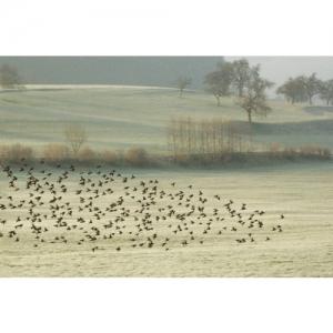 1L 1126 Vogelschwarm 45x30