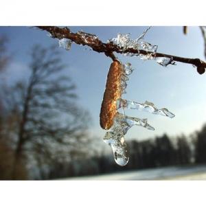 Eis am Haselnussstrauch