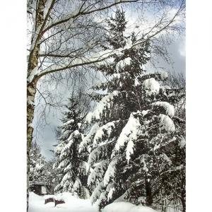 Tannen im Schnee - 0560