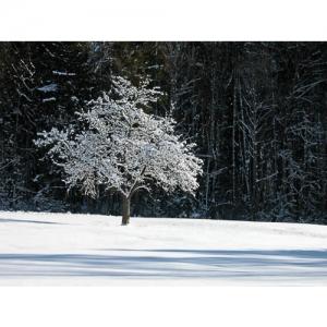 Apfelbaum im Schnee - 0561