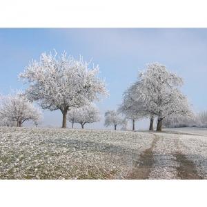 Obstbäume im Raureif - 0591